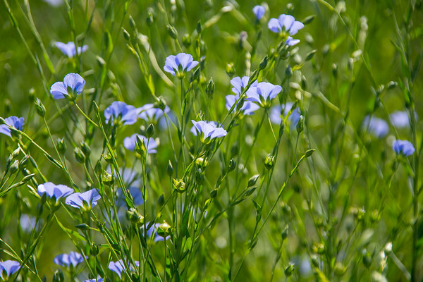 Linseed / Flax (Linum usitatissimum)