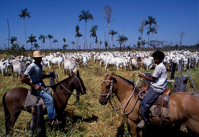 60-70 percent of deforestation in the Amazon results from cattle ranches. Large tracts of forest are cleared and sometimes planted with African savanna grasses for cattle feeding. In many cases, especially during periods of high inflation, land is simply cleared for investment purposes. When pastureland prices exceed forest land prices (a condition made possible by tax incentives that favor pastureland over natural forest), forest clearing is a good hedge against inflation. Kayapo, Brazilain Amazon.
