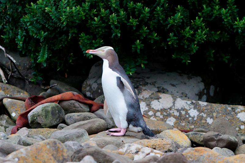 New Zealand - Curio Bay - Penguin