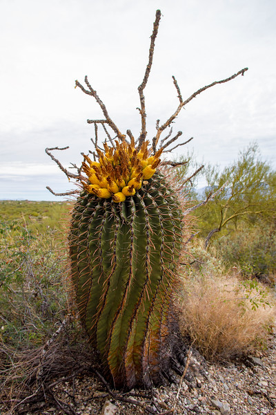 Twirly Barrel Cactus