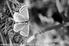 Brown Argus Aricia agestis (7)
