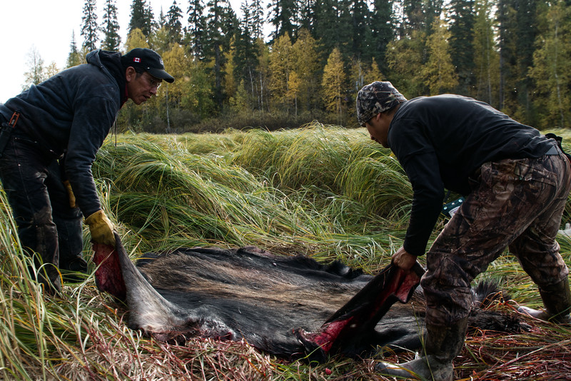 Folding up moose hide for return trip home.