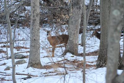 Deer 3-22-17