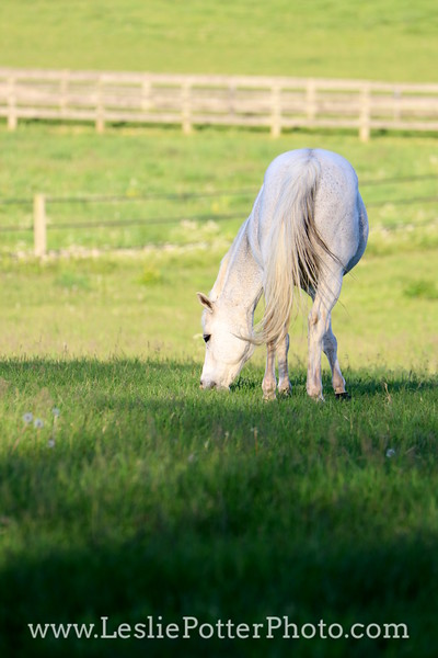 Gray Pony Grazing