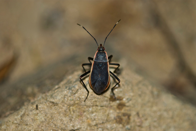 Vietnamese Shield Bug, tbi