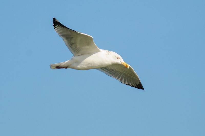 Gull - Herring - St George Island State Park - FL