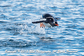 Gentoo penguin flying through the air while swimming in Cierva Cove, Antarctica. Photo by NSL Photography
