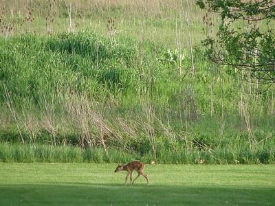 New Born Deer