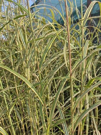 Miscanthus sinensis 'Goldfeder' .jpg