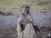 Serious Looking Baboon