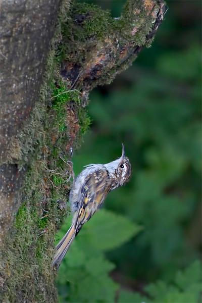 Eurasian Treecreeper (Certhia familiaris)
