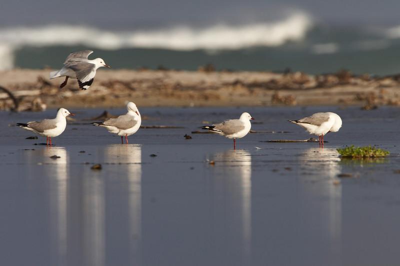 031 Hartlaub's Gulls - 0626.jpg