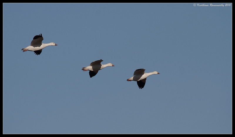 Snow Geese formation flying, Bosque Del Apache, Socorro, New Mexico, November 2010