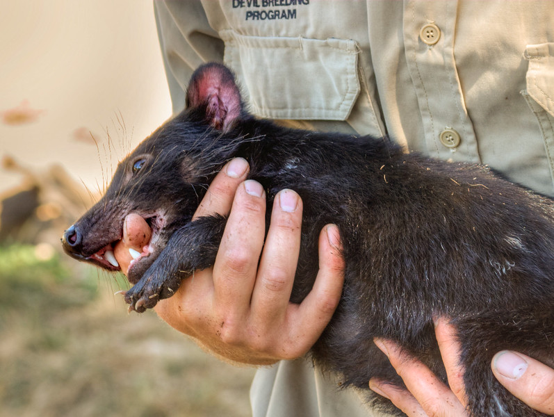 A juvenile Tasmanian devil which has been habituated to humans from the time it was born. She's not biting the keeper's thumb, rather she's using it as a pacifier.
