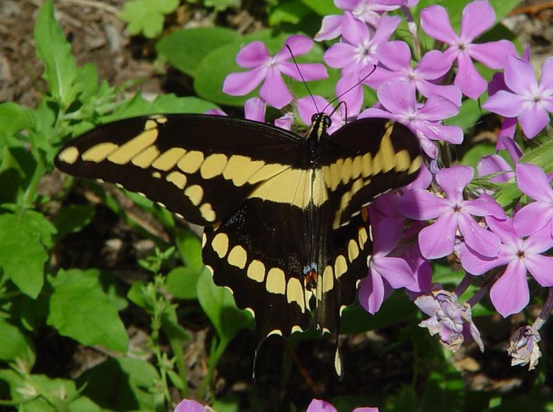 Giant Swallowtail 21 EH.jpg