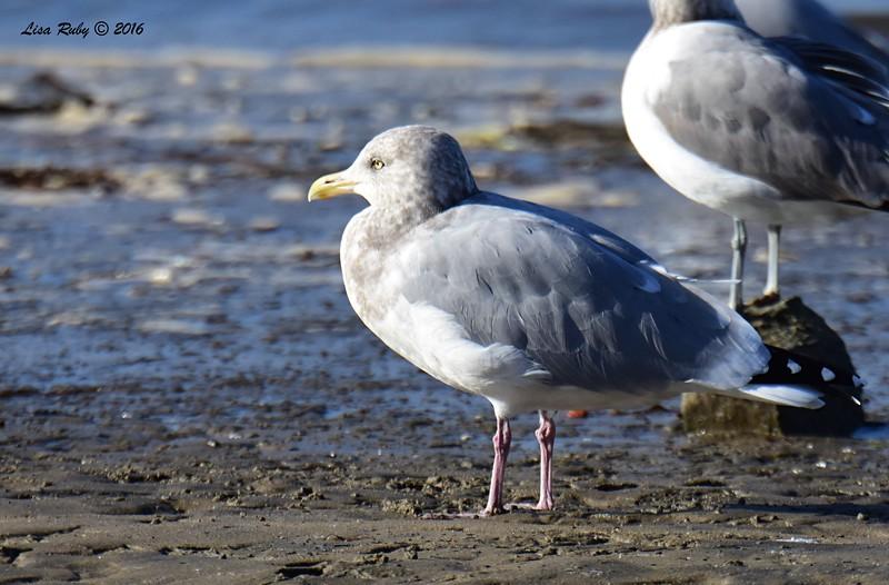 Herring Gull - 12/11/2016 - Mission Bay east