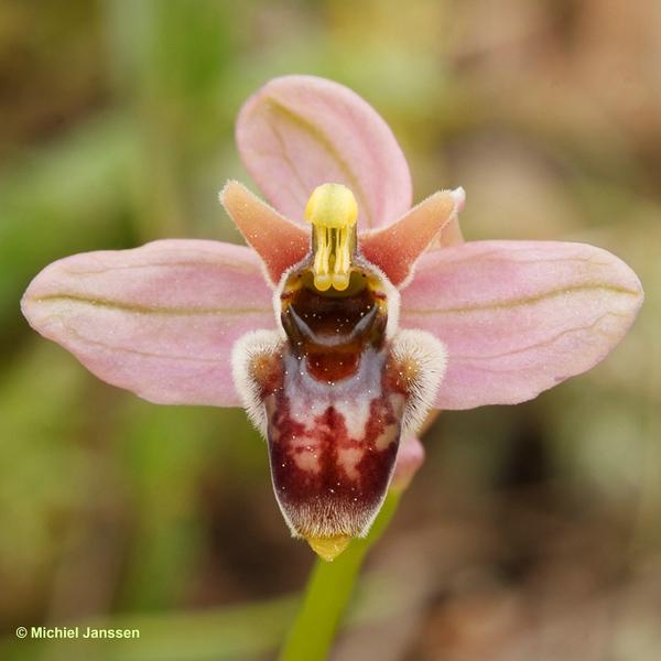 Ophrys bombyliflora × neglecta (hybrid) = Ophrys × sommieri