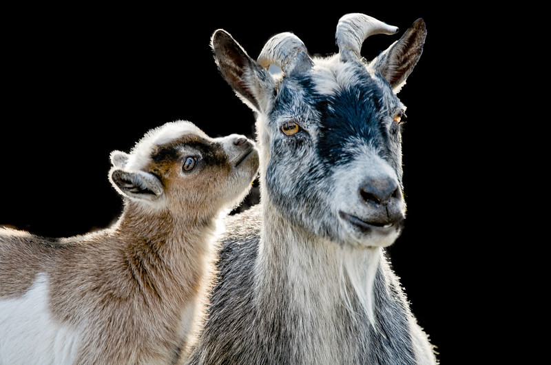 Pygmy goat with young goat