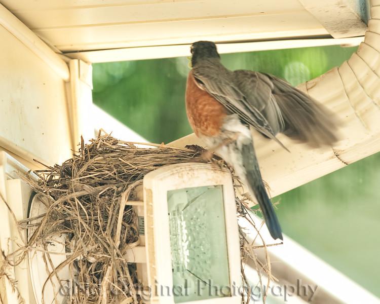 014 Baby Robins Spring 2013.jpg