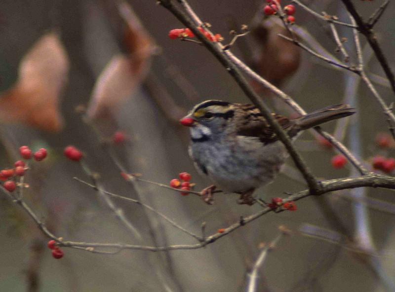White-throated Sparrow: Dinner.  Cincinnati, OH