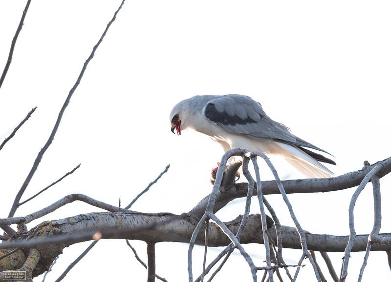 White-tailed Kite with prey