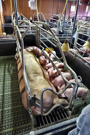 Élevage de cochons (Bretagne) - 2013