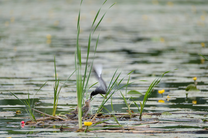 rybitwa czarna | black tern | chlidonias niger