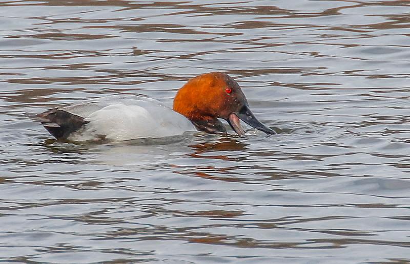 smug duck 4.jpg