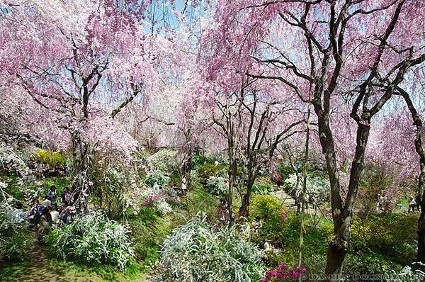 Cherry Blossoms, Kyoto : copyright Damien Douxchamps