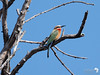 White Fronted Bee-eater 6