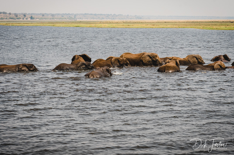 Elephants Daily Crossing of Chobe River for Food