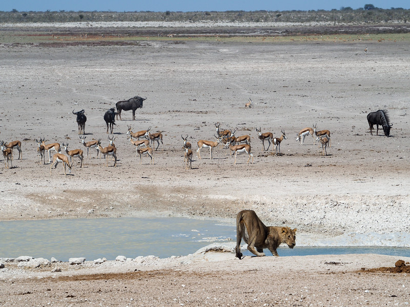 Lion drinking in Etosha National Park