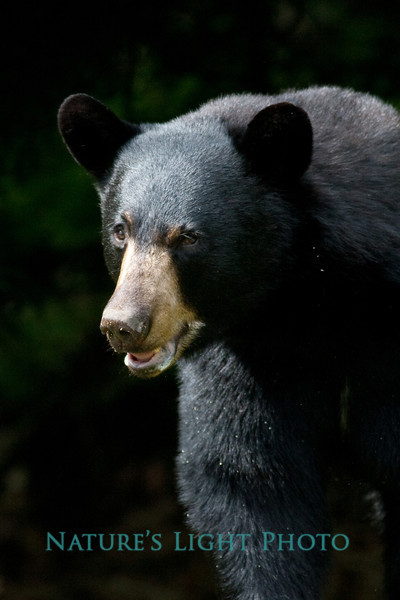 Black Bear, Bedford, New Hampshire