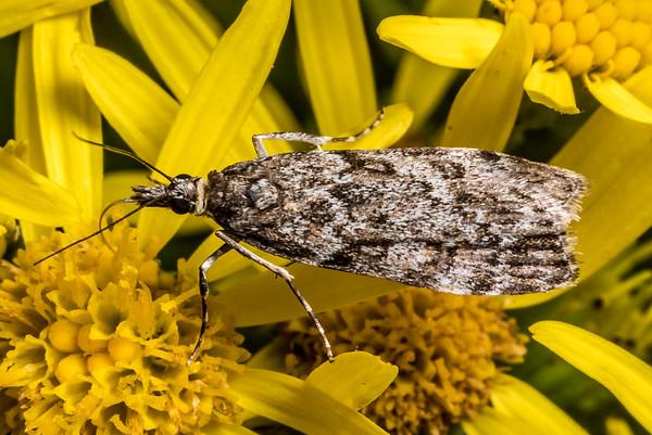 Eudonia cymatias