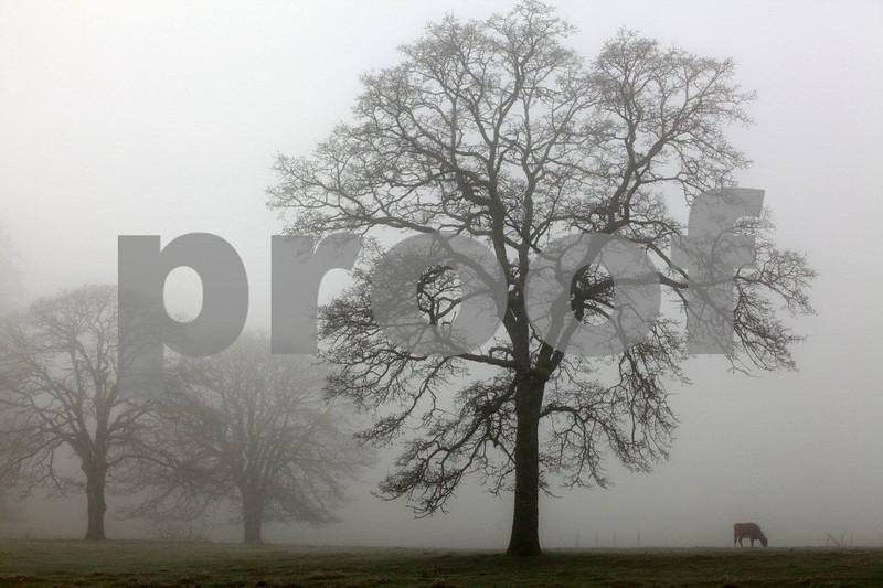 Oak & cow 4199.jpg