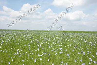 Linum usitatissimum,flax,vlas,Lin cultivé