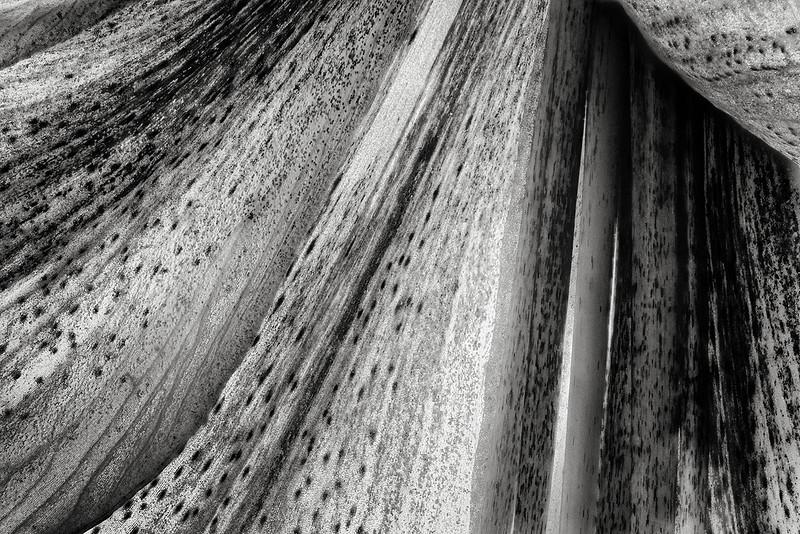 amaryllis-detail-bw-26fs.jpg