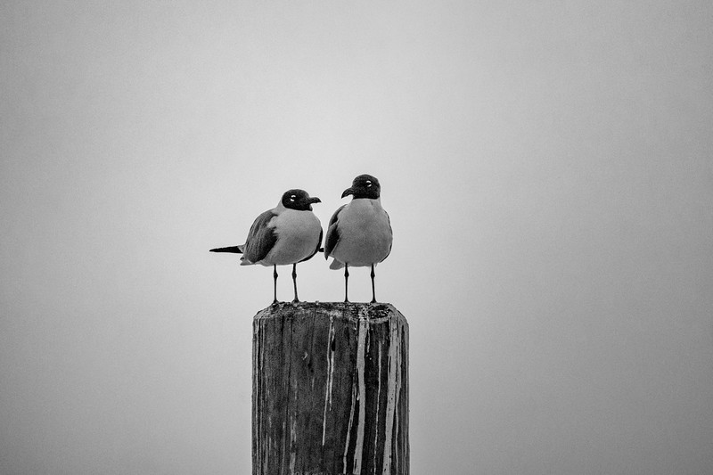 Sea Gull Pair Jim's Peir BW.jpg