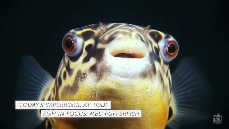 TODI TODAY: Fish in Focus - Mbu Pufferfish