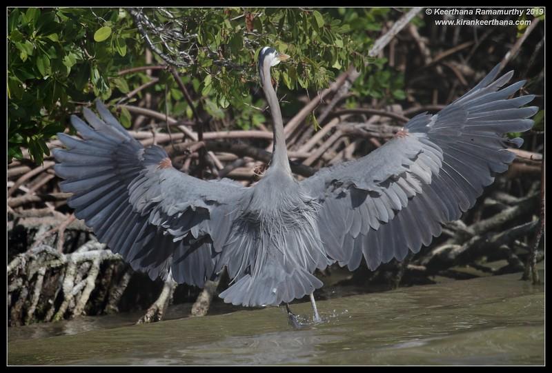 Great Blue Heron, Rio Lagartos, Yucatan Peninsula, Mexico, February 2019