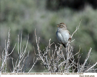 Brewer'sSparrow25870.jpg