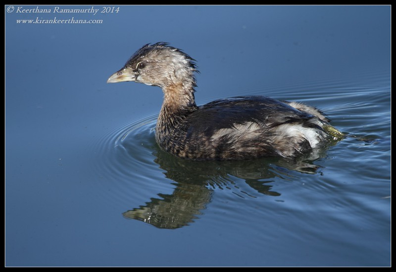 Pied-billed Grebe, Santee Lakes, San Diego County, California, February 2014