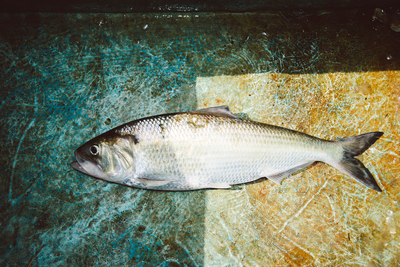 American Shad, Cape Fear River