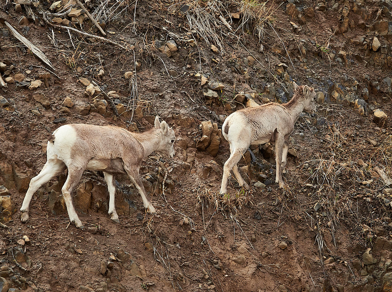 Long horn sheep youngsters on a very steep, loose bank