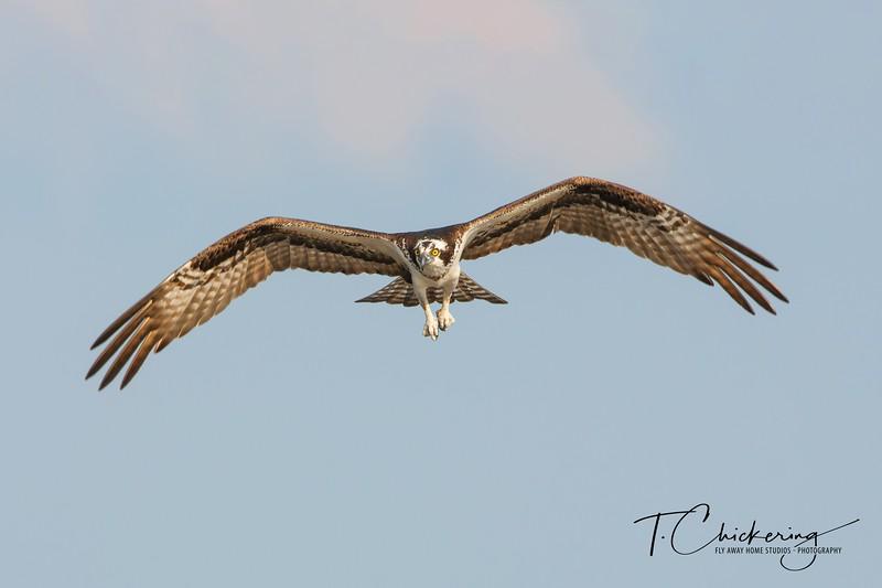 Osprey In Flight Seven-1506898037162.jpg
