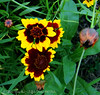 Blanket flower, bud, blossom and seed head