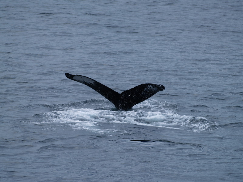 """Whale fluke markings are as individual as human fingerprints. This is """"Alaska"""" - she is a frequent visitor to the Juneau area."""