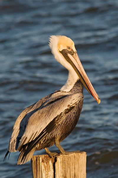 Pelican - Brown - Apalachicola, FL - 01