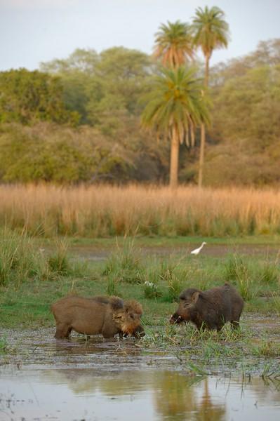 Sambar Deer (Cervus unicolor) and Grey Heron in a lake in Ranthambhore national park