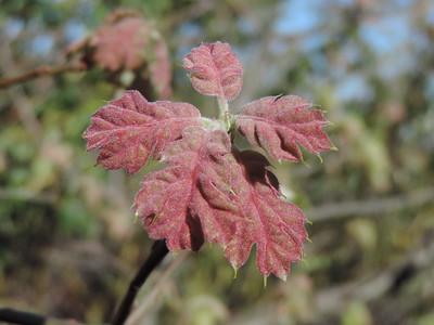 California Black Oak (Quercus kelloggii)